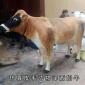 仿真�晌髂膛DP� 皮毛仿真奶牛模型 牛奶品牌形象用奶牛模型 仿真�游锬P腿A芳工�提供制作